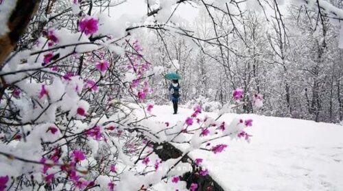 Hoa đỗ quyên mọc trong những khu rừng ở miền bắc Trung Quốc, nơi có khí hậu rất lạnh, tuyết rơi dày vào mùa đông.