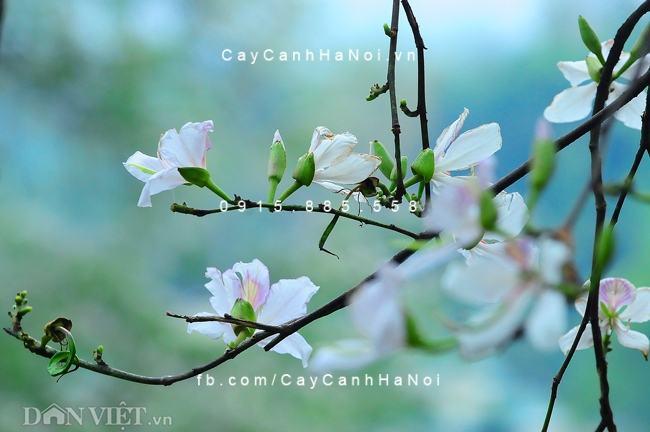 cay-hoa-ban-trang (1)