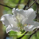 Cây hoa ban trắng