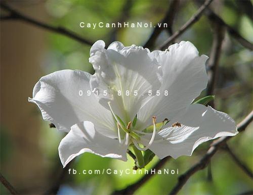 cay-hoa-ban-trang (5)
