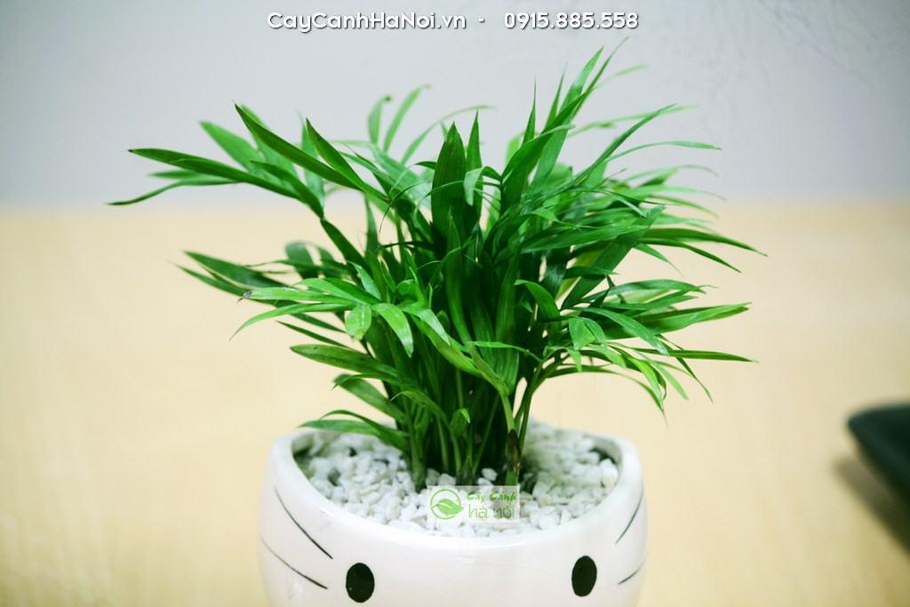 Cây Cau tiểu trâm - Cây phong thủy phù hợp tuổi Tỵ