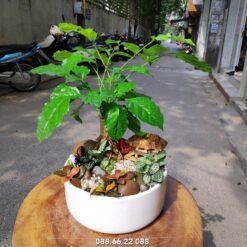 cây hạnh phúc để bàn
