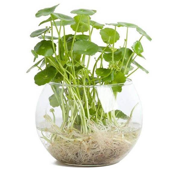 Cây Rau má trồng thủy sinh - Cây phong thủy phù hợp tuổi Tỵ