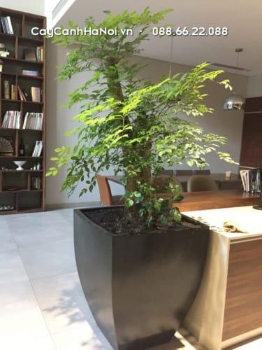 Cây Hạnh Phúc - loại cây tương sinh cho người tuổi Mão