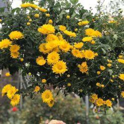 hoa cúc rủ