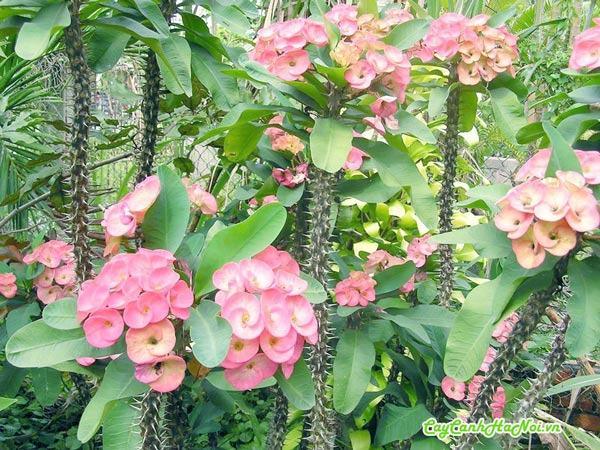 Hoa xương rồng bát tiên mang vẻ đẹp rực rở
