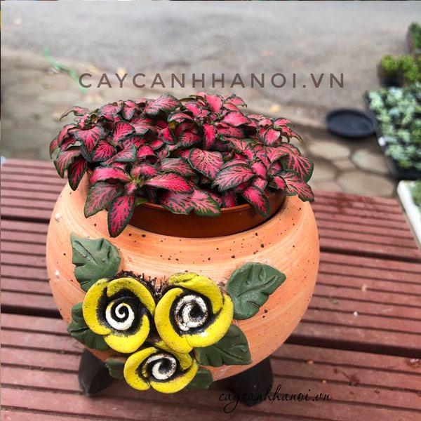 Cây cẩm nhung đỏ trồng chậu hoa hồng