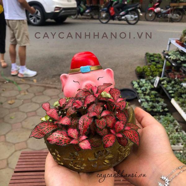 Cây cẩm nhung đỏ trồng chậu thần tài