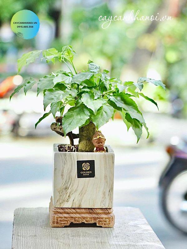 Cây hạnh phúc trồng trong chậu sứ vuông