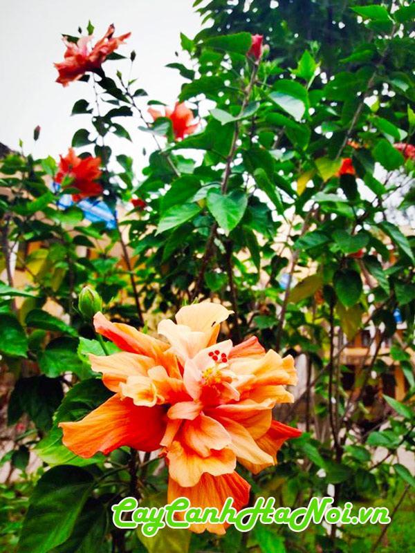 Cây hoa bông bụt kép