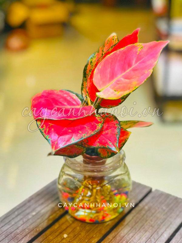 Cây hồng phát lộc trồng trong nước