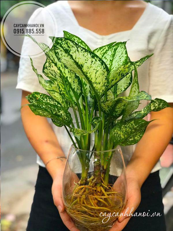 Cây ngọc ngân trồng thủy sinh mang đến tài lộc