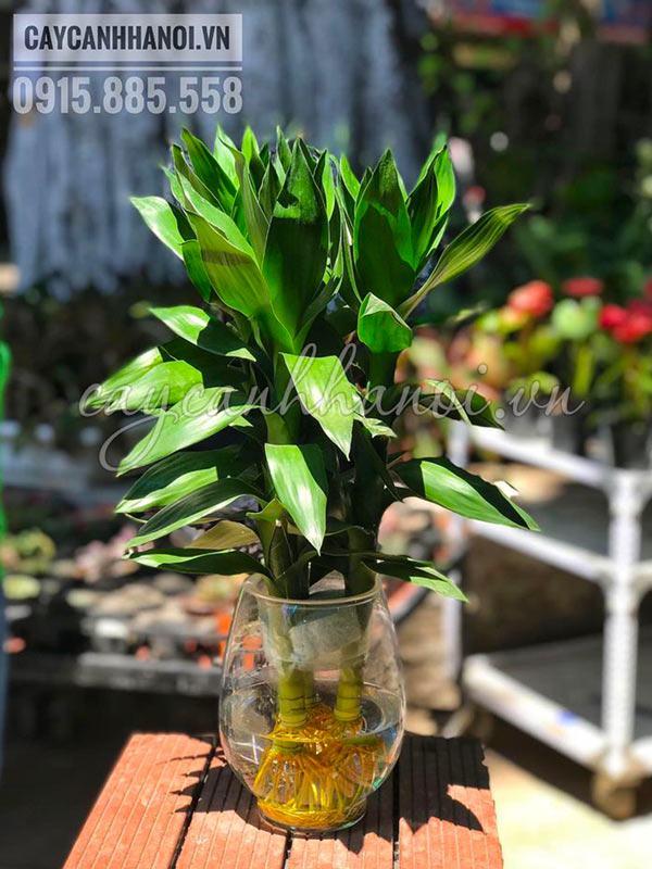 Cây phát tài búp sen trồng thủy sinh