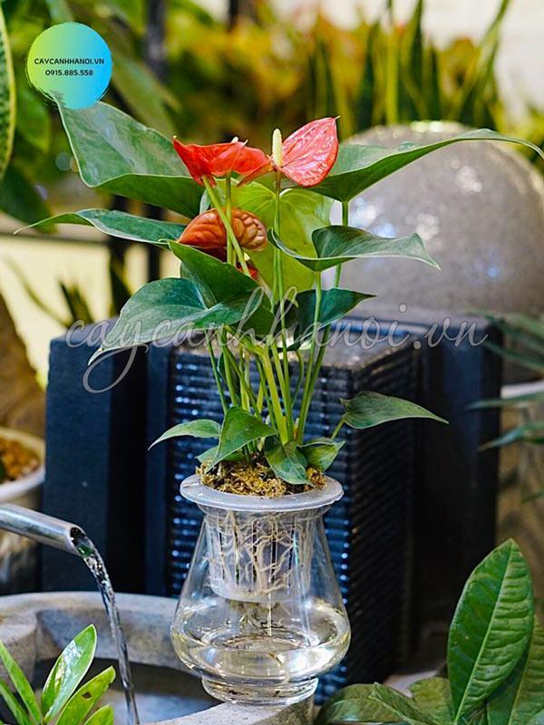 Cây tiểu hồng môn trồng trong nước