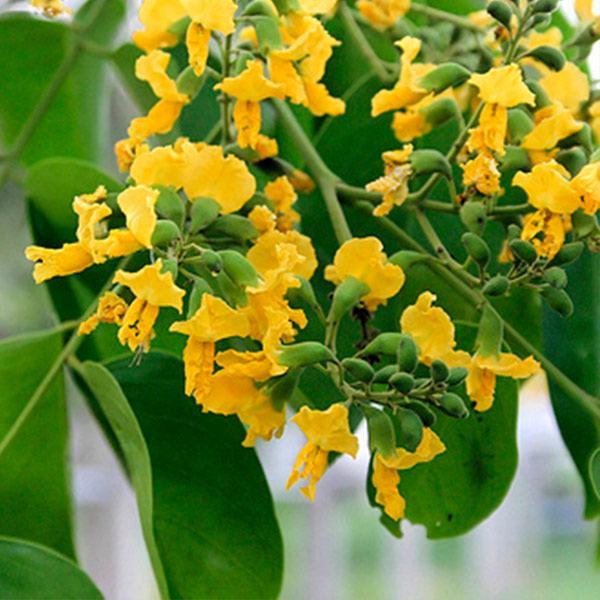 Hoa cây giáng hương