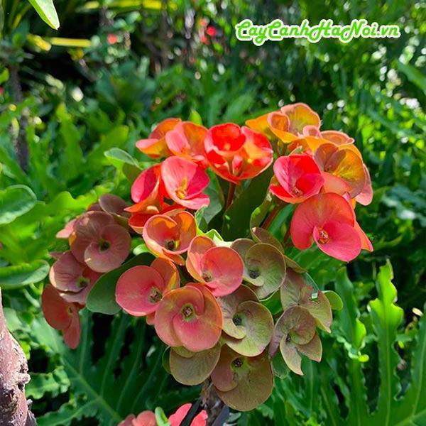 Hoa cây xương rồng bát tiên