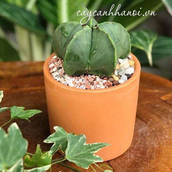 Cây xương rồng ngôi sao trồng chậu đất nung