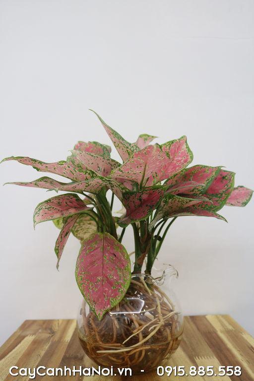 Cây phú quý đỏ trồng trong nước