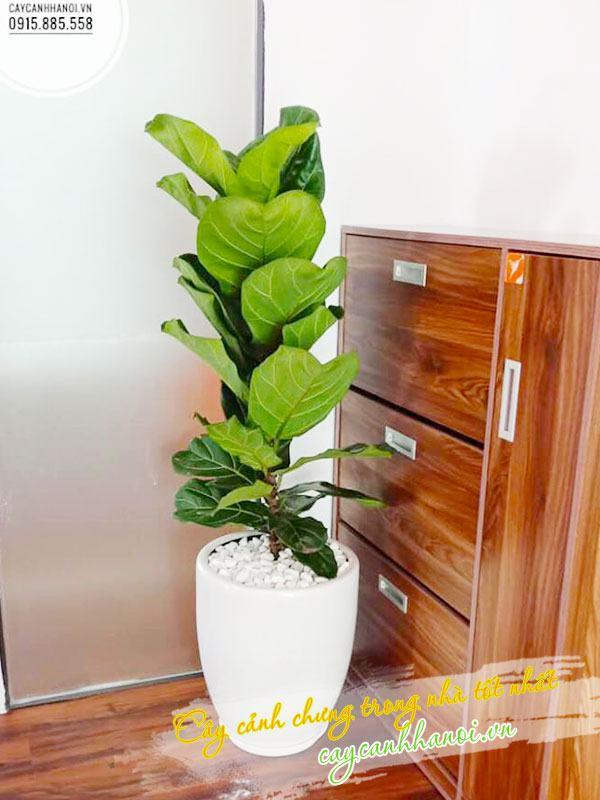 Cây bàng singapore trồng nội thất