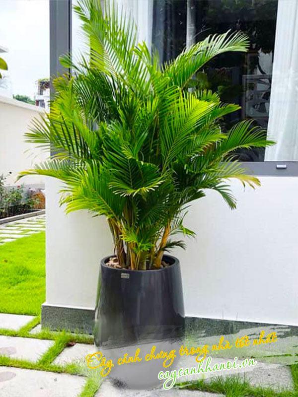 Cây cau nhật trồng nội thất