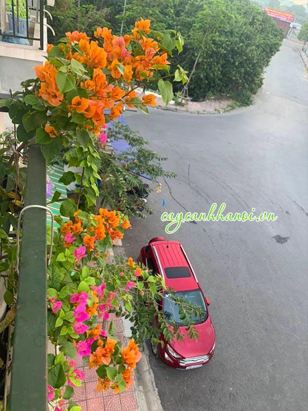 Cây hoa giấy cam leo giàn ban công