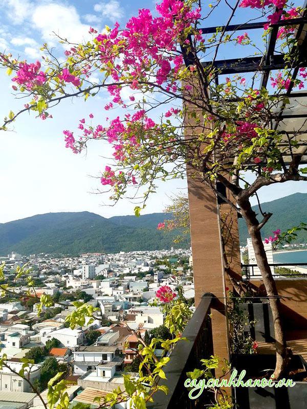 Cây hoa giấy trồng leo giàn trên ban công