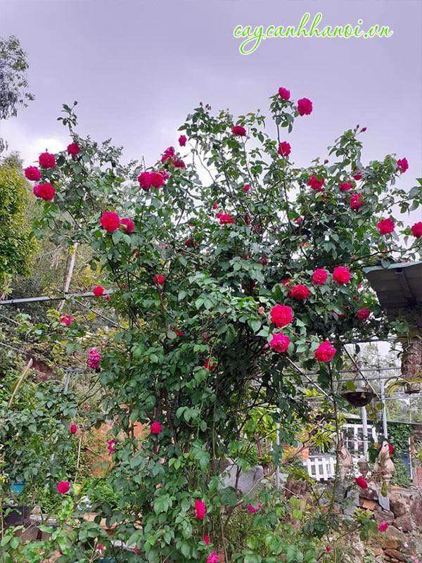 Cây hoa hồng leo trồng sân vườn