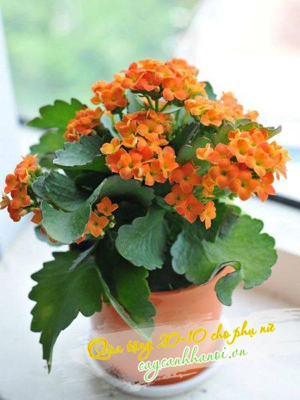 Cây hoa sống đời quà tặng ý nghĩa cho phụ nữ