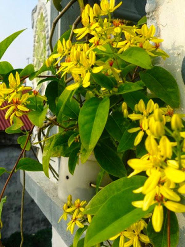 Dây kim đồng vàng trồng sân vườn