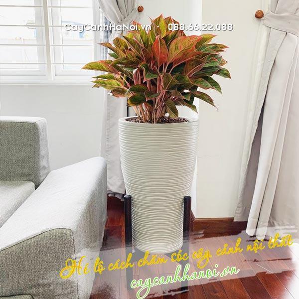 Cây lưỡi hổ trồng nội thất