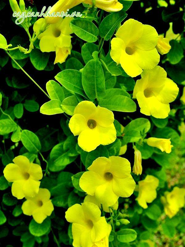 Cây hoa quỳnh đệ