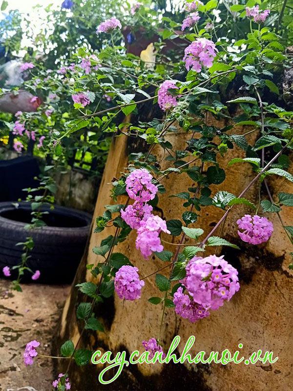 Cây trâm ổi hoa tím trồng giàn sân vườn