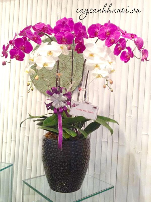 Chậu hoa lan quà tặng 20-10