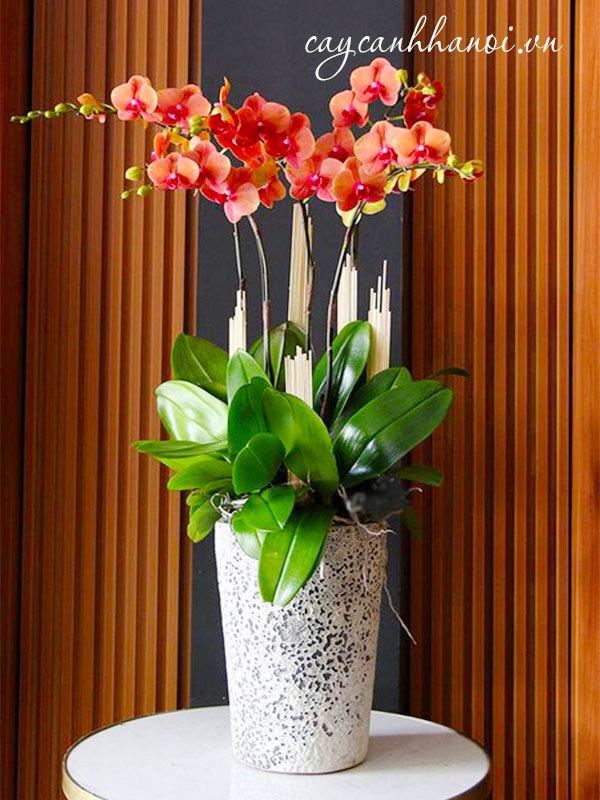 Chậu hoa lan hồ điệp đẹp tặng 20-10