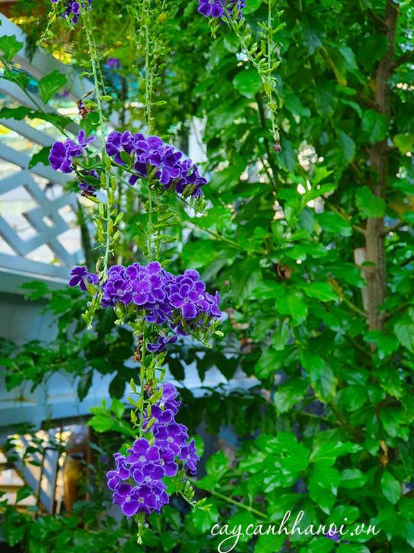 Chuỗi ngọc hoa tím leo giàn