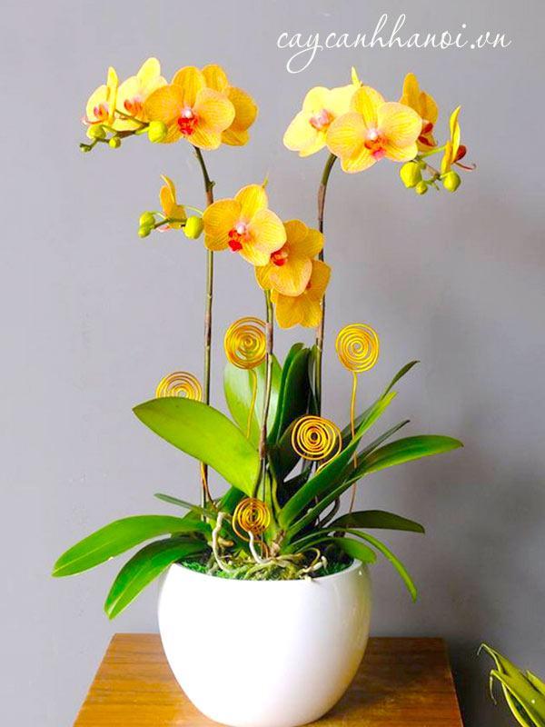 Hoa lan hồ điệp vàng 3 thân