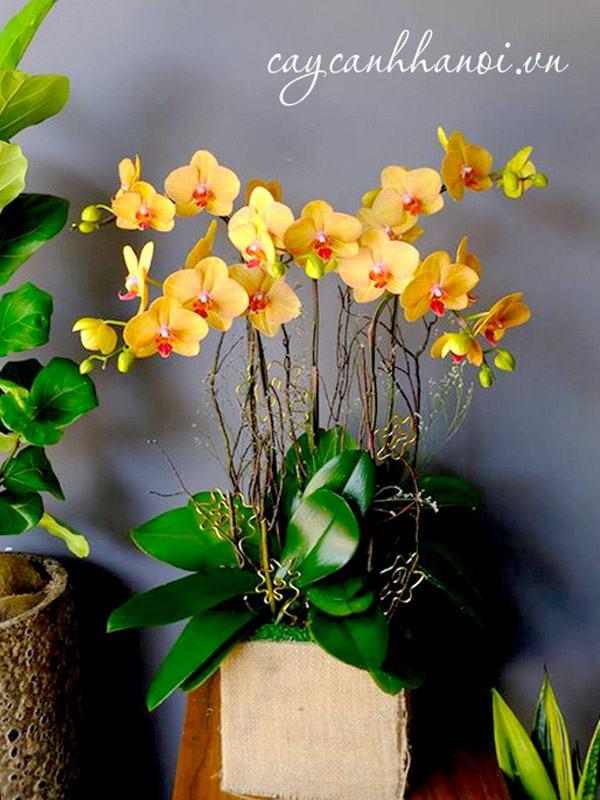 Hoa lan hồ điệp vàng 5 thân