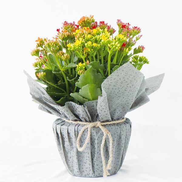 Hoa sống đời quà tặng người phụ nữ