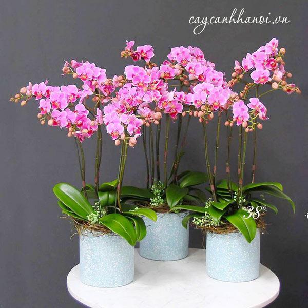 Hoa lan hồ diệp tím đốm