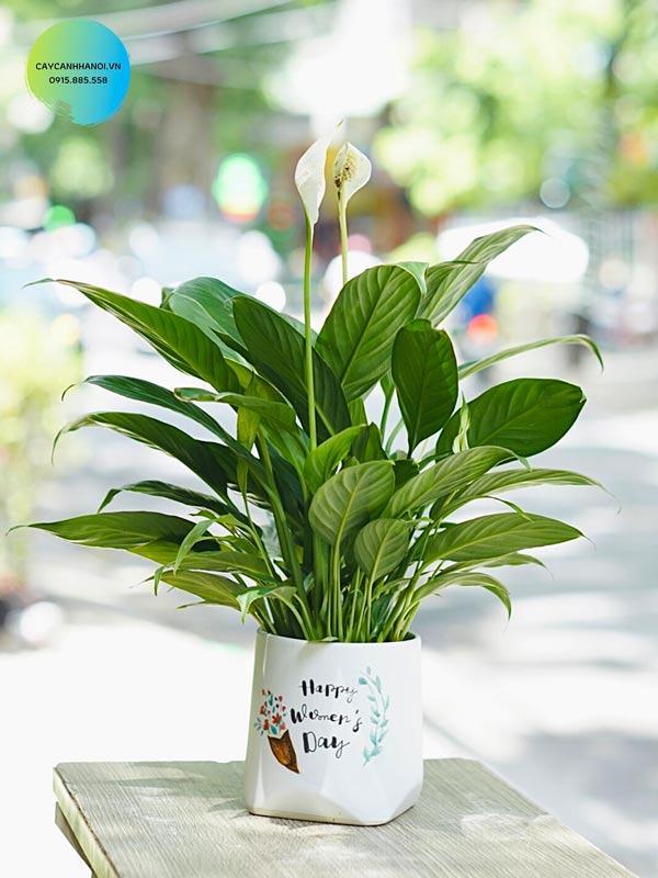 Cây lan ý trồng nội thất lọc khí tốt