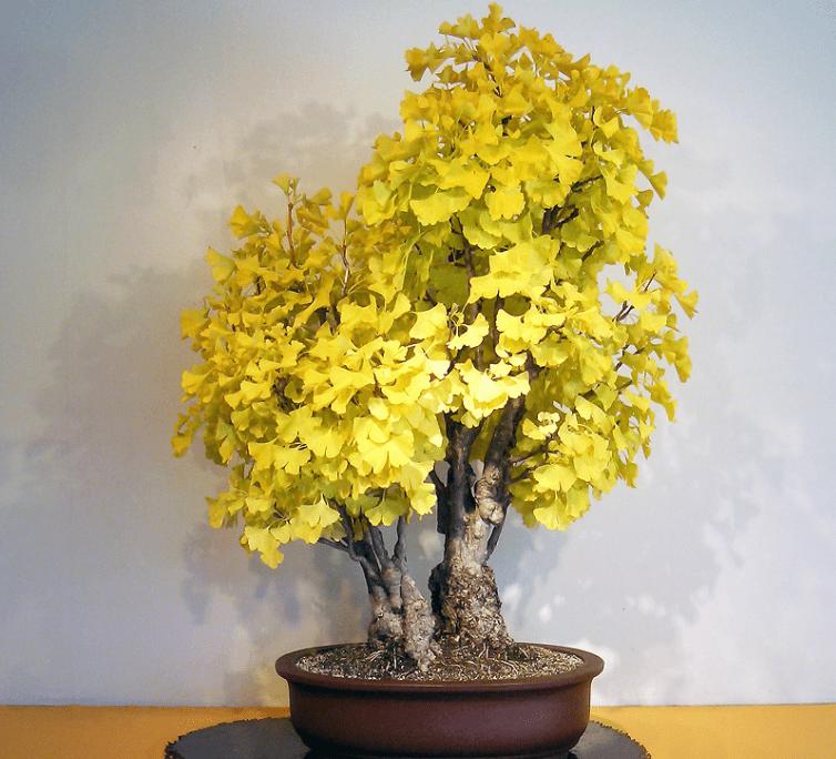 cây ngân hạnh