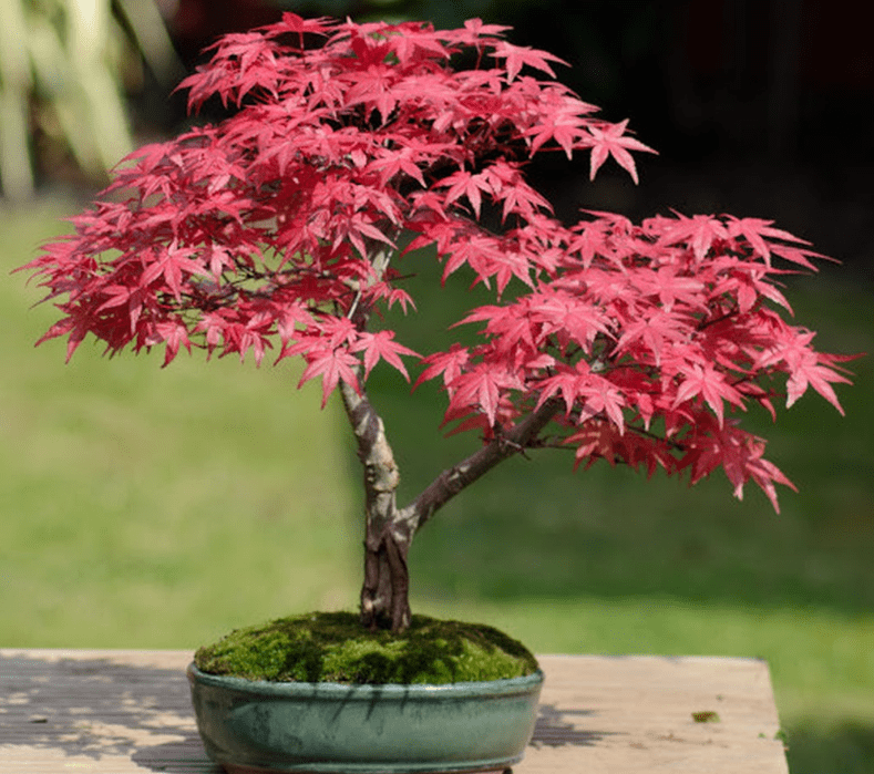 cây phong lá đỏ