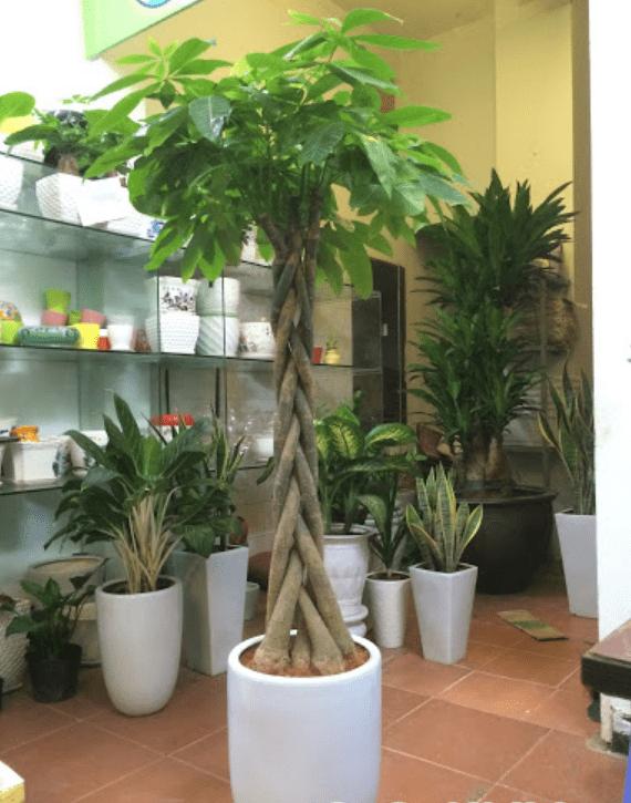 cây kim ngân hàn quốc