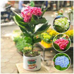 Bán cây hoa cẩm tú cầu