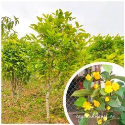 Cây trà hoa vàng Hà Nội