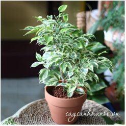 Cây sanh cẩm thạch trồng chậu