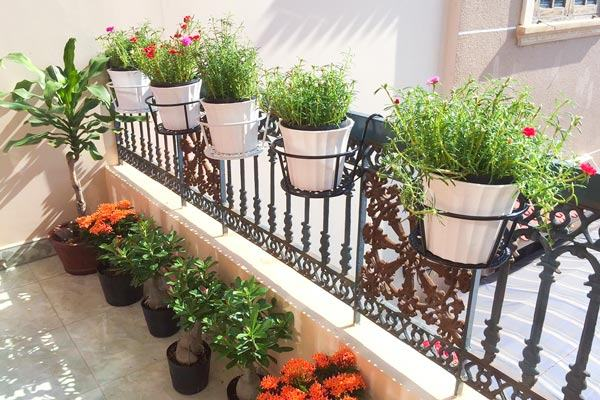 Hoa mười giờ trồng chậu treo trang trí ban công