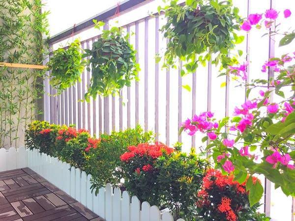 Thiết kế ban công đẹp với chậu hàng rào hoa giấy và hoa trang thái