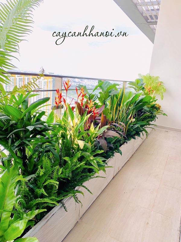 Trang trí ban công bàng cây lưỡi hổ, bàng singapore, lan ý trồng chậu xi măng nhẹ
