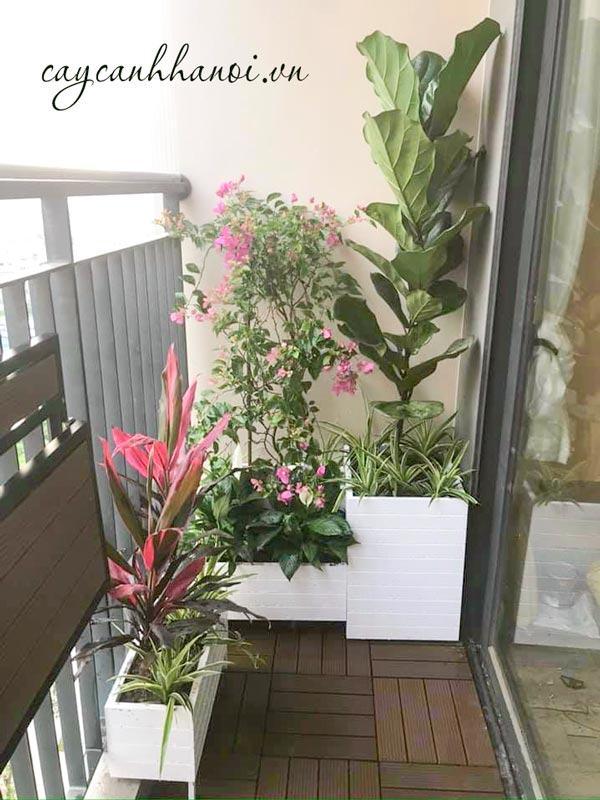 Trang trí góc ban công vói cây bàng singapore; hoa giấy, cây huyết dụ trồng chậu composite